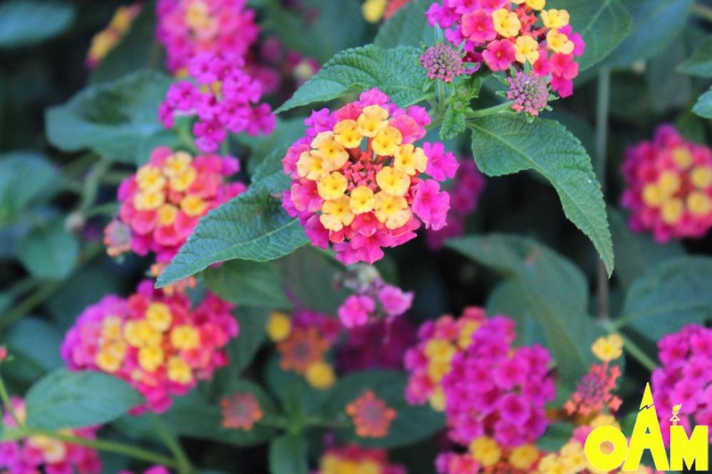openairmomlantanaflowers