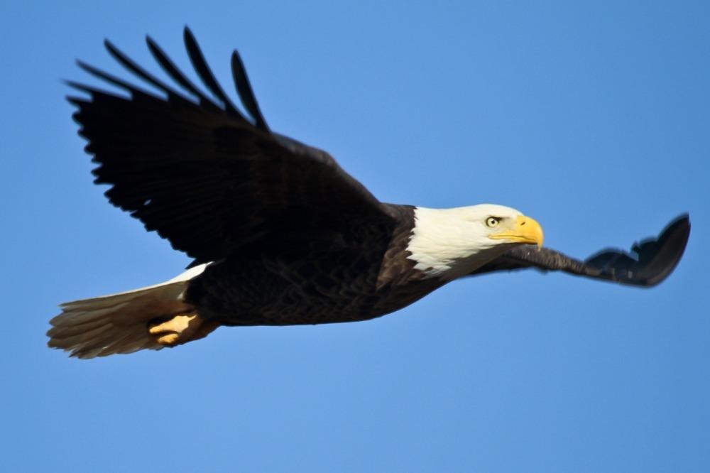 bald-eagle-1259676_1280